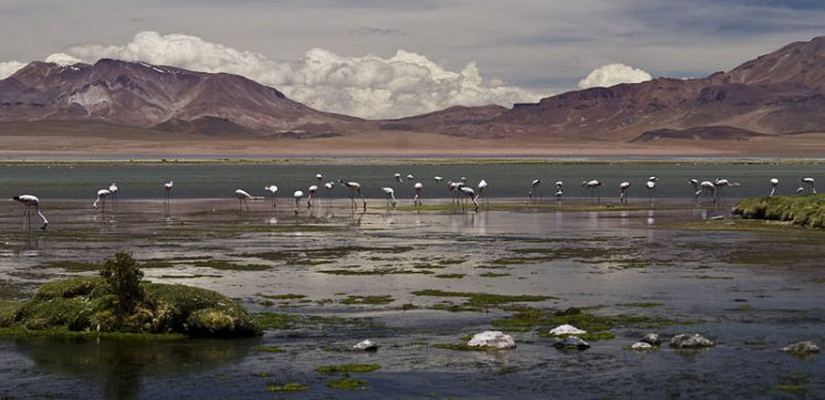 flamingos drinking water with mountains behind them