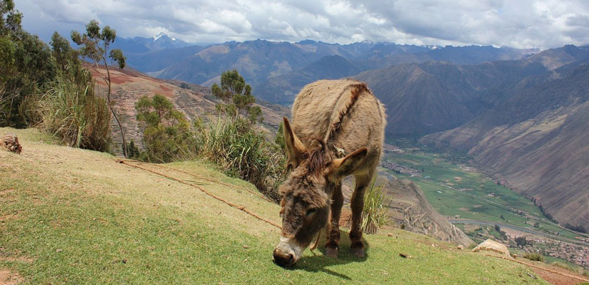 donkey eating grass on the Inca Trail