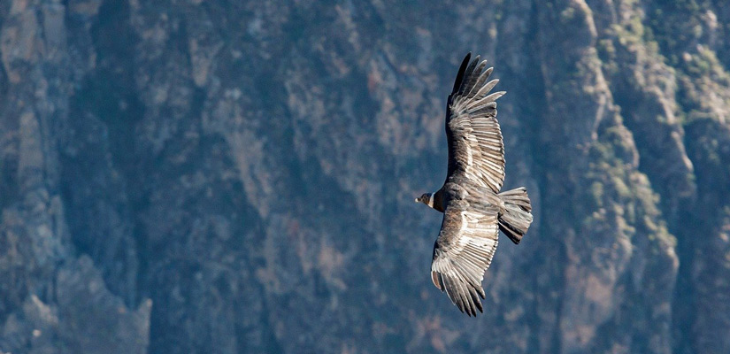 andean colca condor flying with open wings
