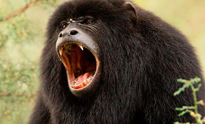 amazon howler monkey