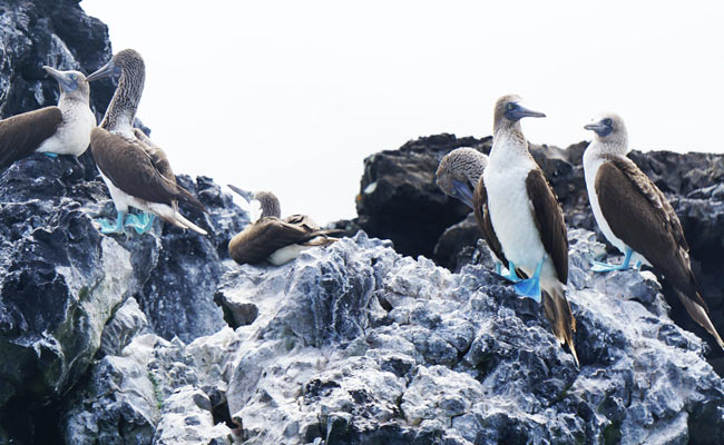 blue-footed gaviots in galapagos islands