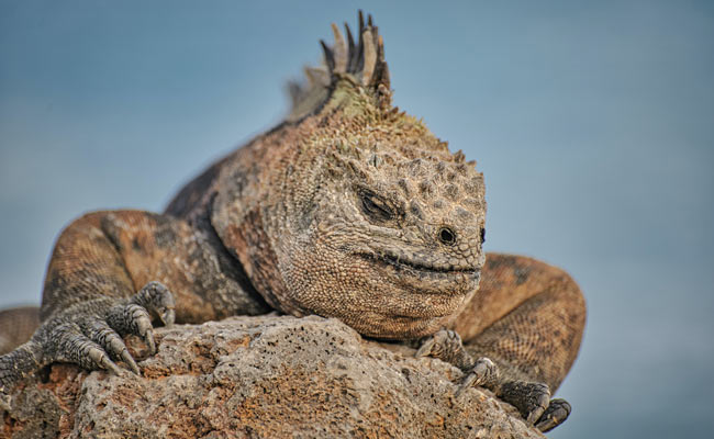 iguana sleeping in Galapagos island
