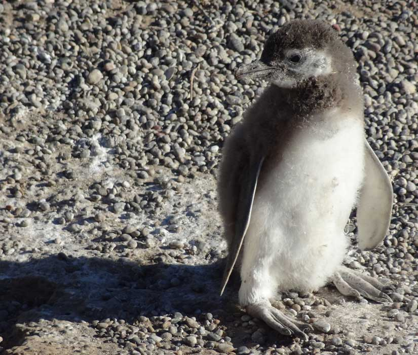 baby penguin in puerto madryn to see in argentina