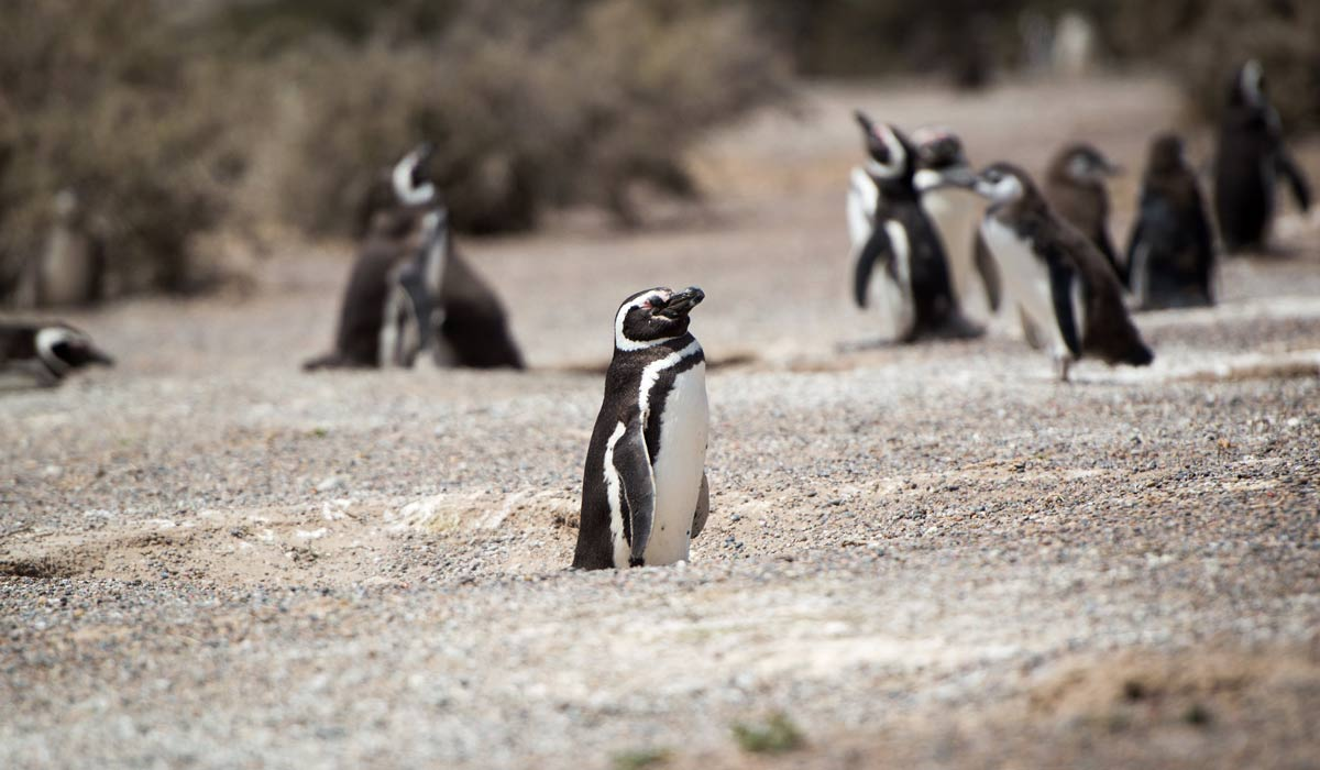 magellanic penguin group in puerto madryn