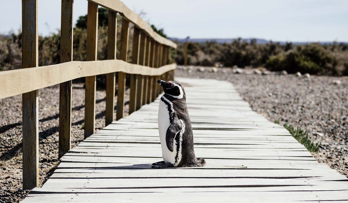 penguin on punta tombo's wooden walkway perfect to see penguins in argentina