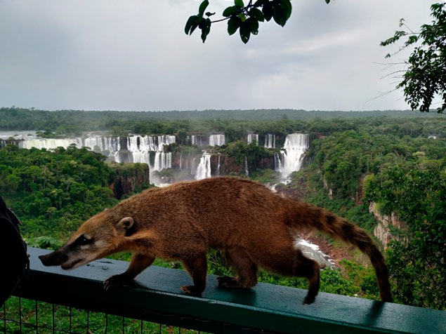 Coati at Iguazu water Falls travel stories Howlanders