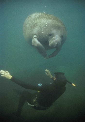 manatee and a diver