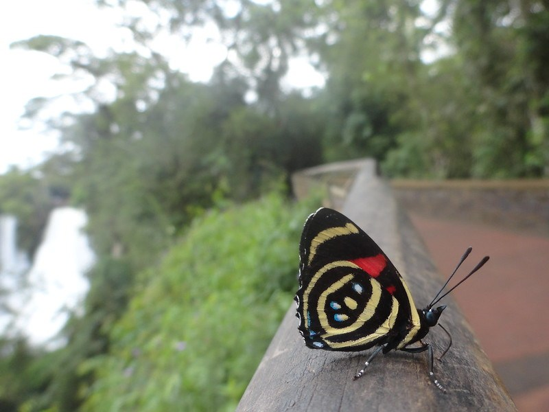 butterfly in the trails of Iguazu