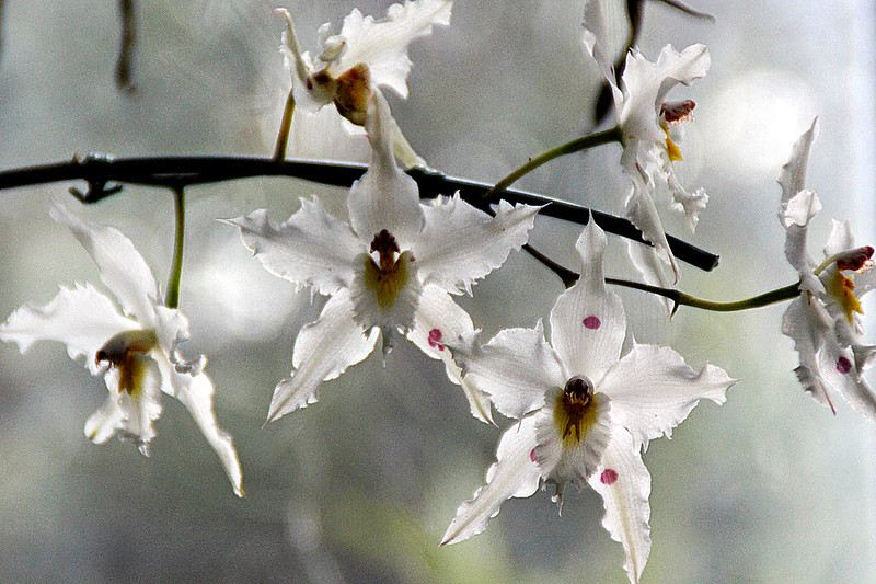 white orchids from close