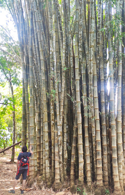 Bamboo hiking route