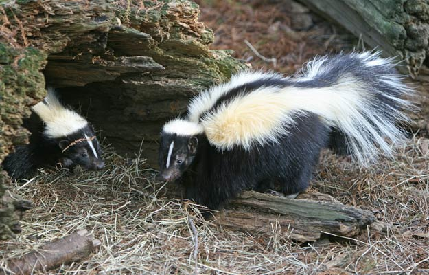baby skunks entering in a cave