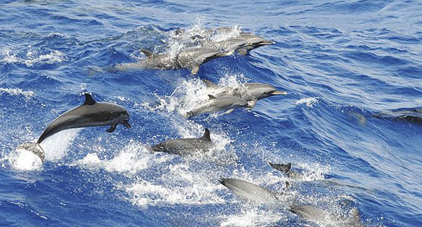 spotted dolphins swimming